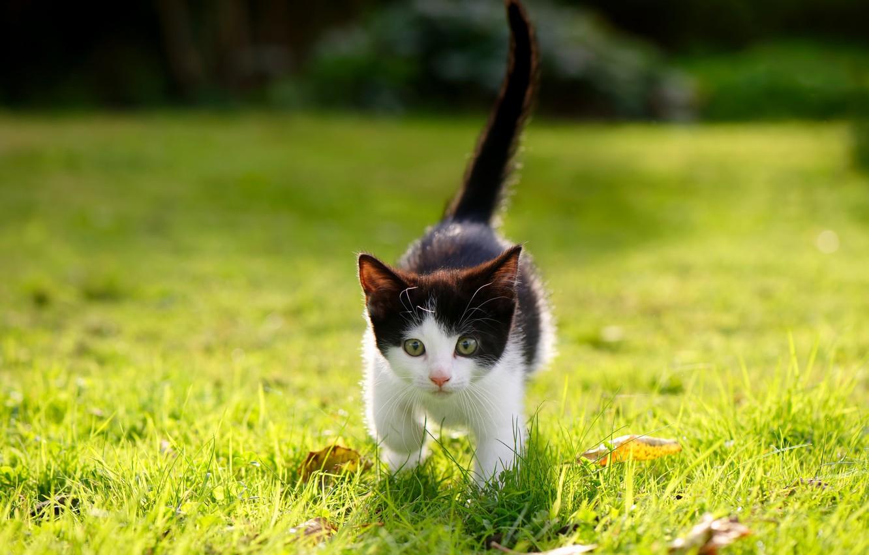 Photo wallpaper grass, lawn, baby, walk, kitty