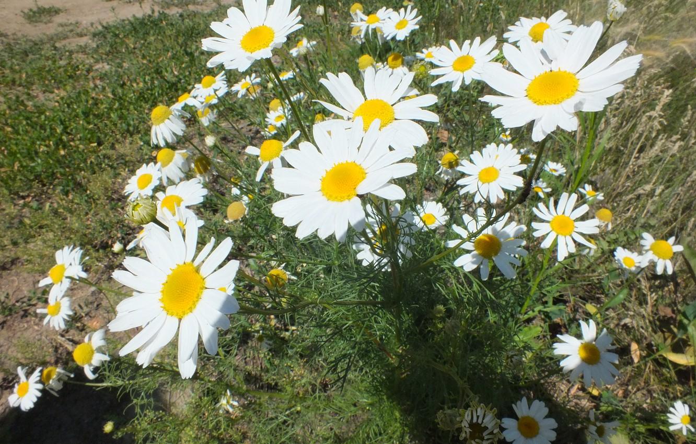 Photo wallpaper summer, flowers, chamomile