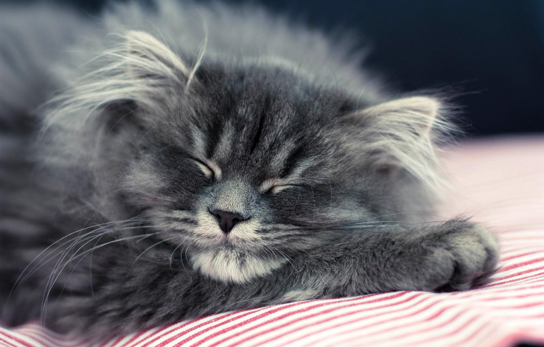 Photo wallpaper cat, cat, kitty, grey, fluffy, sleeping, lies