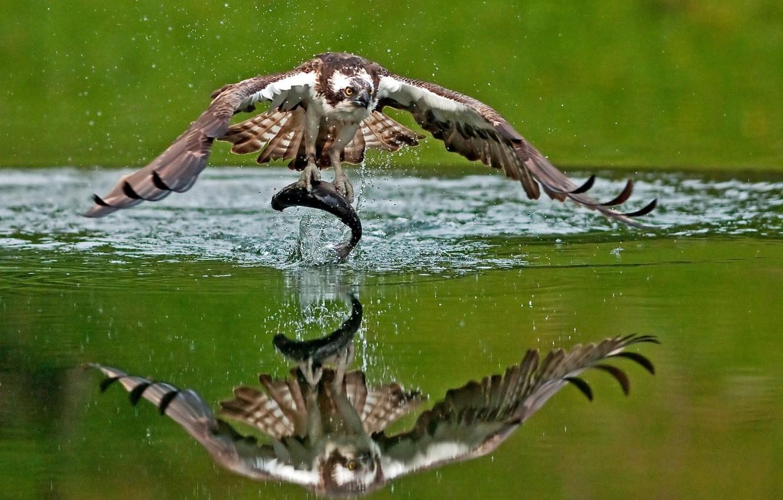 Photo wallpaper water, reflection, bird, fish, mining, catch, Osprey