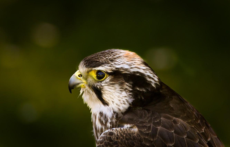 Photo wallpaper look, green, glare, background, bird, profile, hawk, Hawk