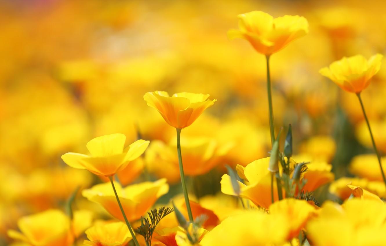 Photo wallpaper flowers, a lot, escholzia