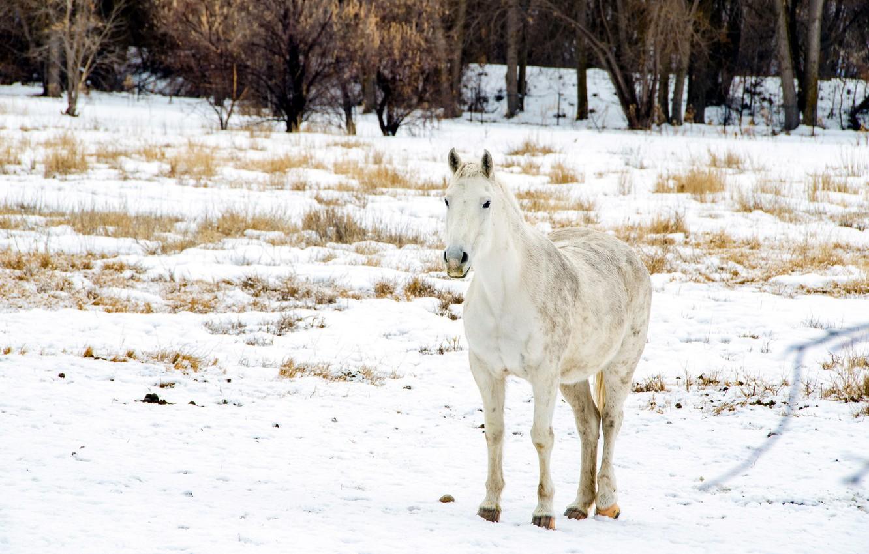 Photo wallpaper winter, field, snow, horse