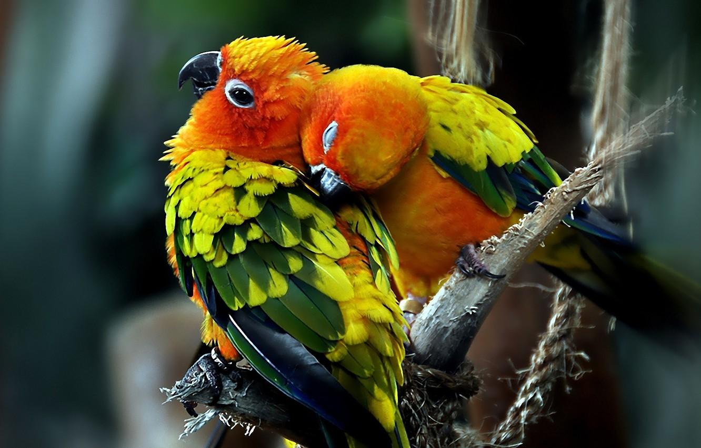 Photo wallpaper love, Birds, pair, parrots