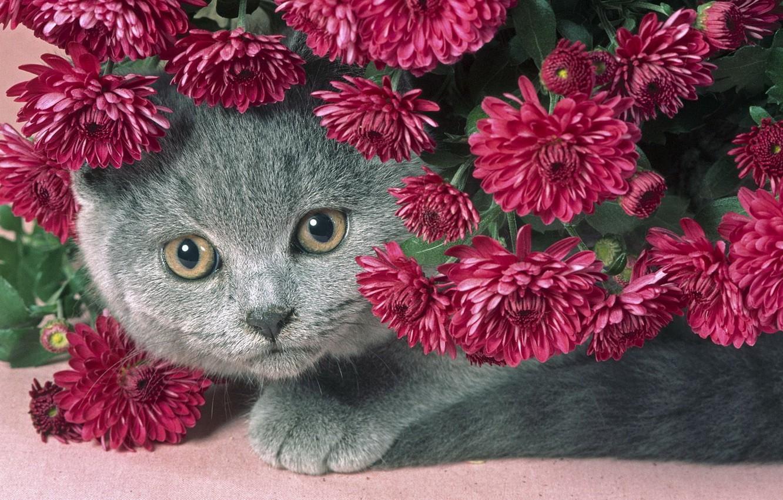 Photo wallpaper cat, flowers, grey, beautiful, chubby kitty, purple