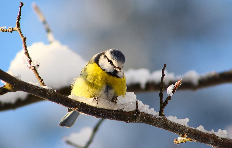 Photo wallpaper winter, snow, branches, bird, tit