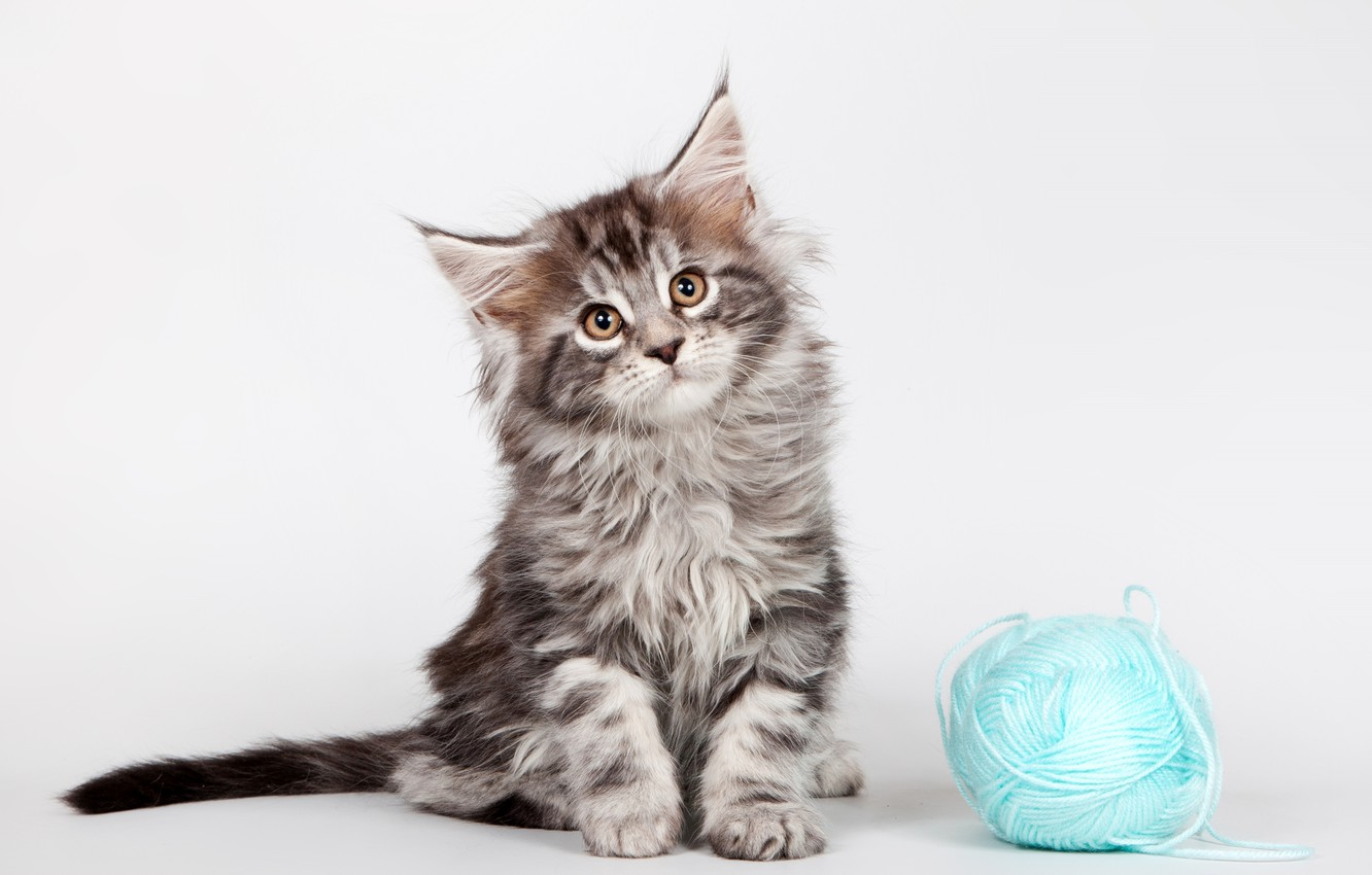 Photo wallpaper tangle, kitty, Maine Coon