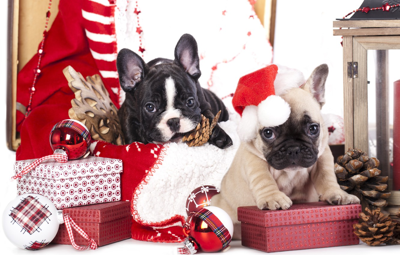 Photo wallpaper dogs, balls, toys, puppies, gifts, bumps, snowflake, cap, box, French bulldog