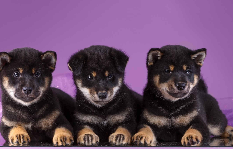 Photo wallpaper puppies, trio, Akita