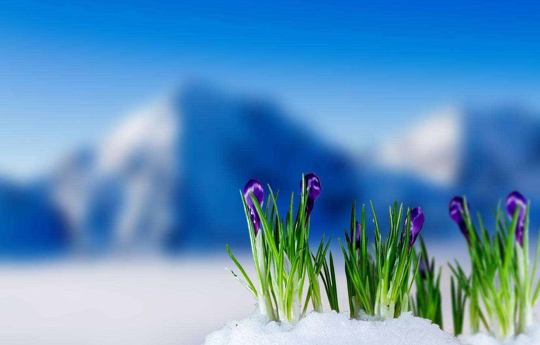 Wallpaper Spring Crocuses Flowering Flowers Mountain