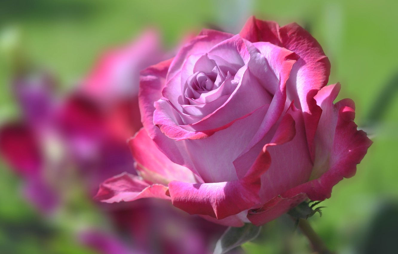 Photo wallpaper flower, rose, petals, Bud