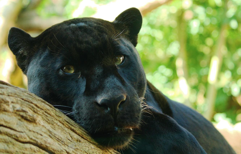 Photo wallpaper look, tree, predator, Panther, lies, Jaguar, watching, Panthera onca