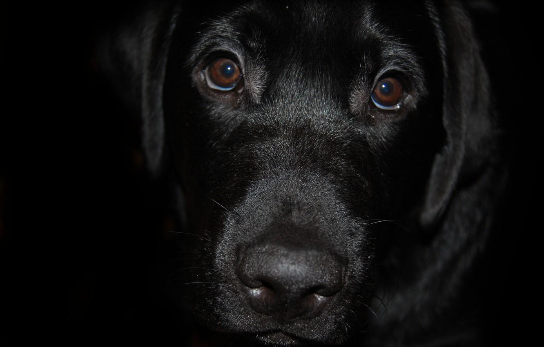 Wallpaper black, dog, Labrador images ...
