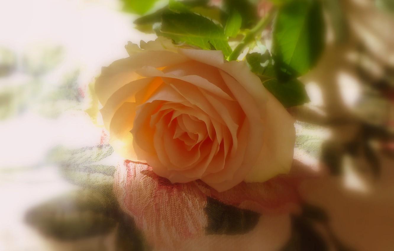 Photo wallpaper rose, shadows, yellow rose