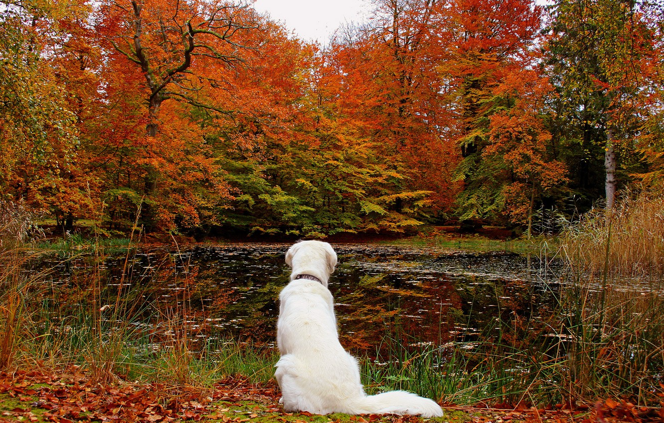 Photo wallpaper autumn, forest, leaves, lake, dog, nature.