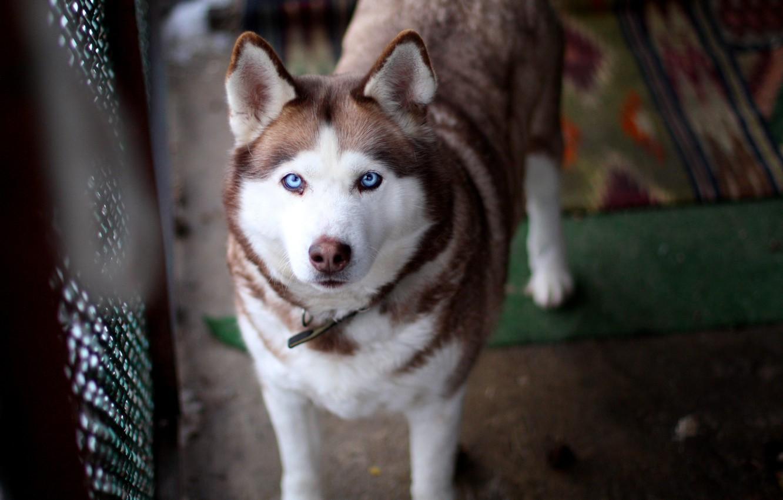 Photo wallpaper dog, blue eyes, husky