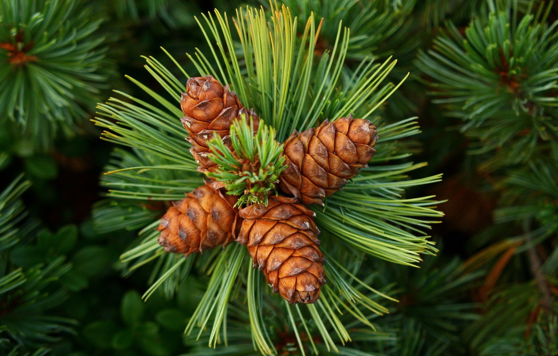 Photo wallpaper greens, green, needles, bumps, cones, needles, cedar, Cedar, siberian pine