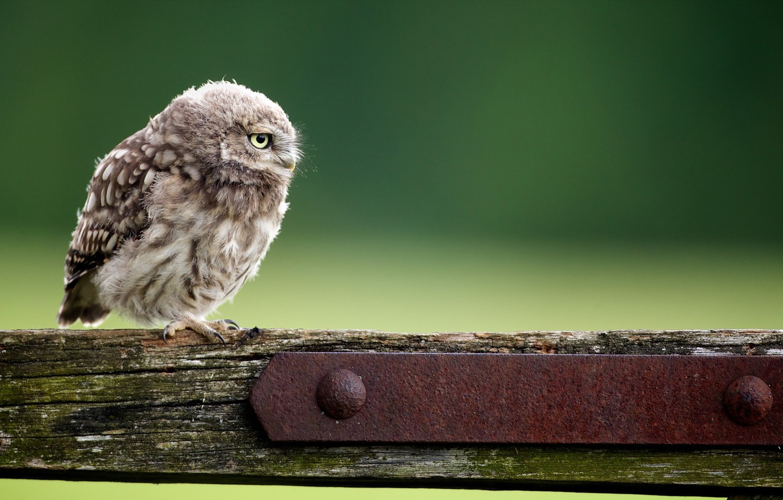 Photo wallpaper background, owl, bird