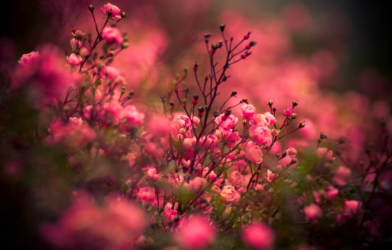 Photo wallpaper roses, Flowers, rose, flower, nature, flowers, roses