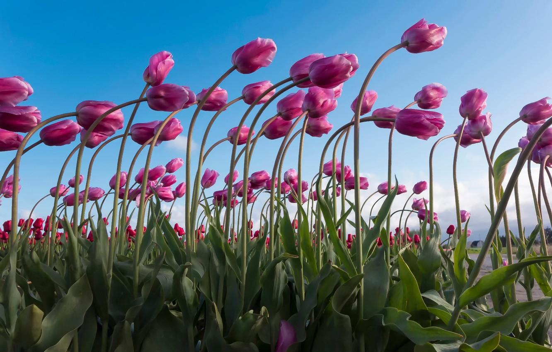 Photo wallpaper tilt, tulips, a lot