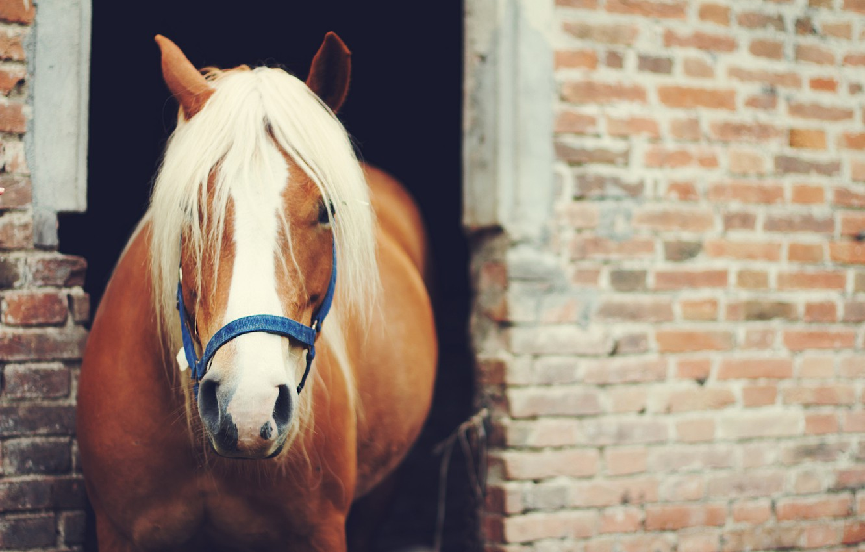 Photo wallpaper animal, horse, horse