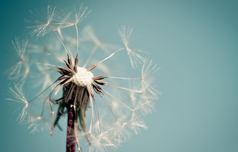 Photo wallpaper flower, macro, background, dandelion, blue, widescreen, Wallpaper, wallpaper, widescreen, background, macro, full screen, HD wallpapers, …