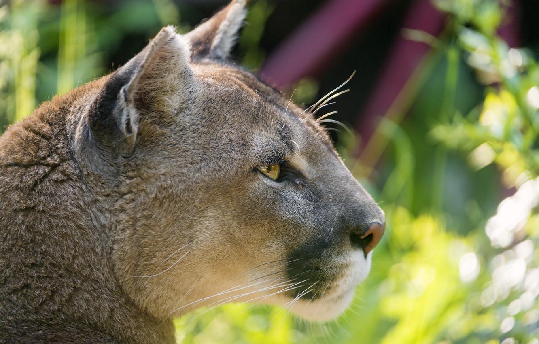 Photo wallpaper cat, profile, Puma, mountain lion, Cougar, ©Tambako The Jaguar