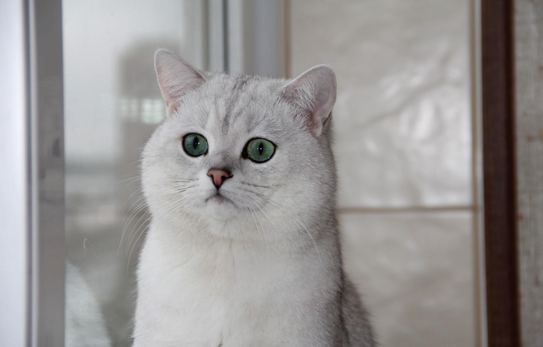 Photo wallpaper cat, window, green eyes, British chinchilla