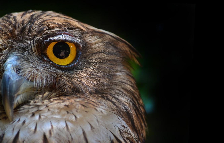 Photo wallpaper look, owl, bird, feathers, black background