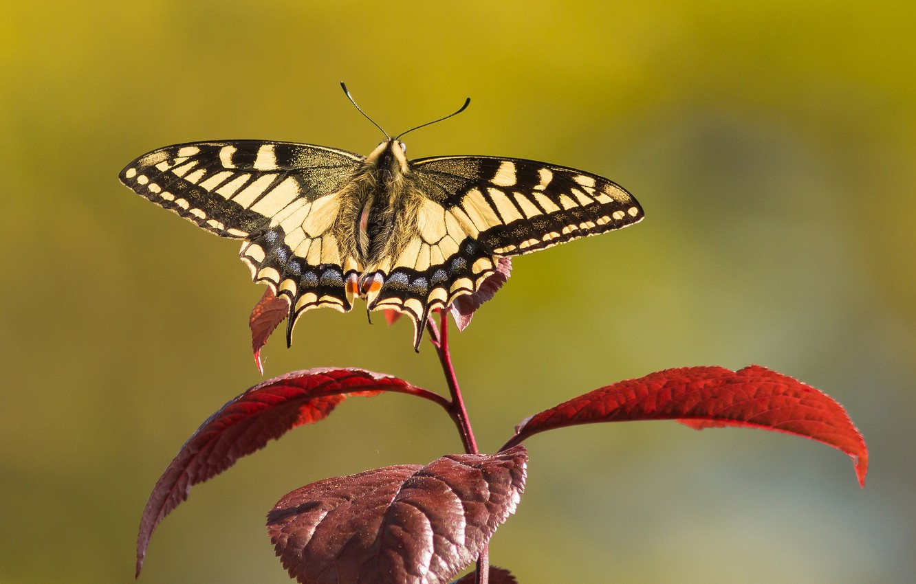 Photo wallpaper leaves, butterfly, branch, swallowtail
