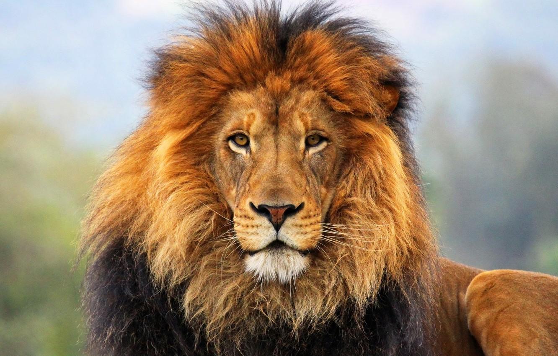 Photo wallpaper Lion, look, head