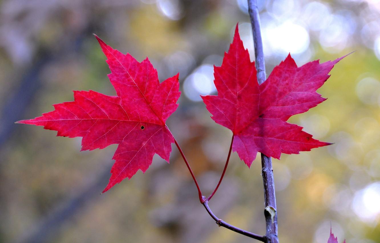 Photo wallpaper autumn, leaves, branch, maple, the crimson