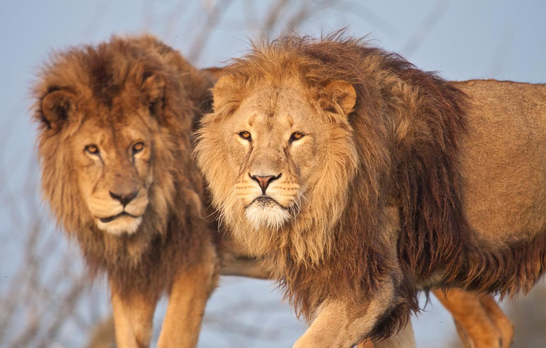 Photo wallpaper cat, Leo, mane, lions, brothers