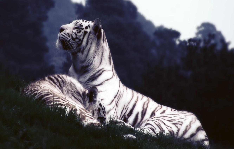 Photo wallpaper white, grass, tiger