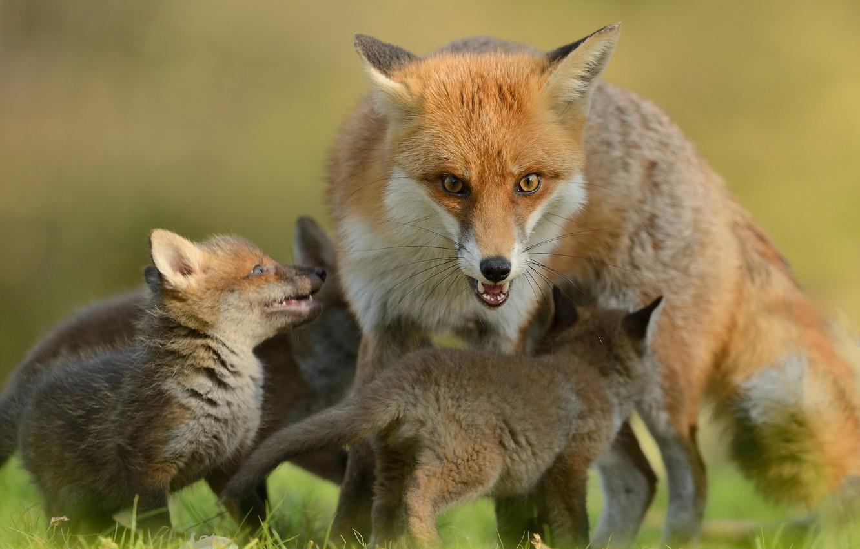 Photo wallpaper look, Fox, Fox, kids, motherhood, cubs, cubs