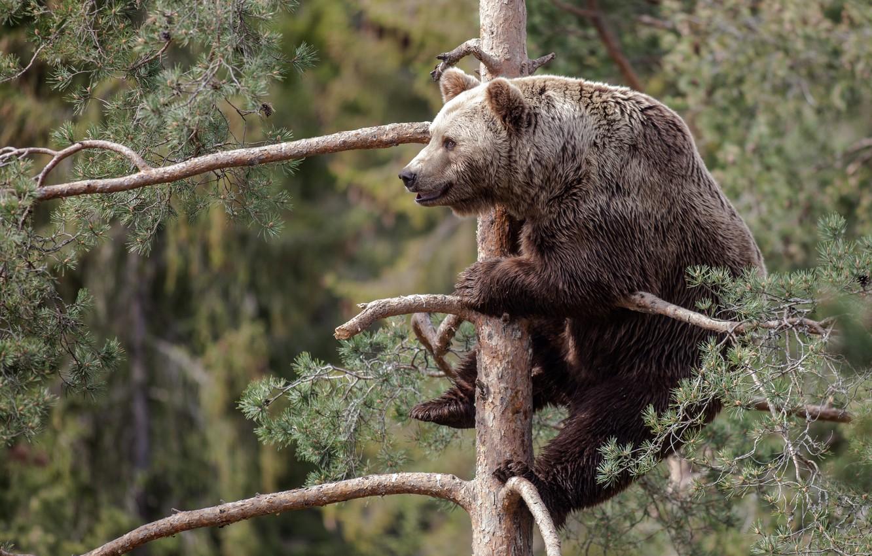 Photo wallpaper tree, bear, pine, the Bruins
