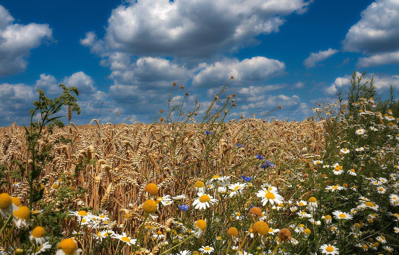 Photo wallpaper wheat, field, summer, flowers, chamomile, cornflowers