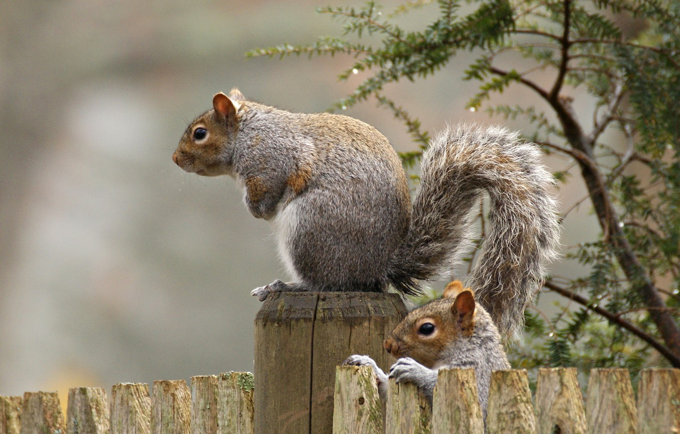 Photo wallpaper the fence, protein, tail, rodent
