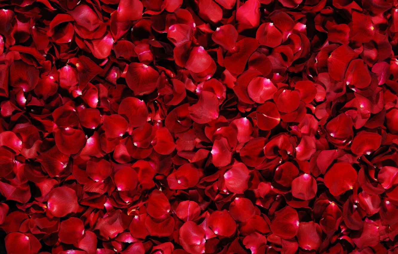 Photo wallpaper red, background, rose, petals