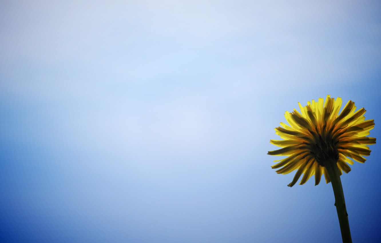Photo wallpaper flower, flowers, yellow, background, blue, widescreen, Wallpaper, wallpaper, widescreen, background, full screen, HD wallpapers, flower, …