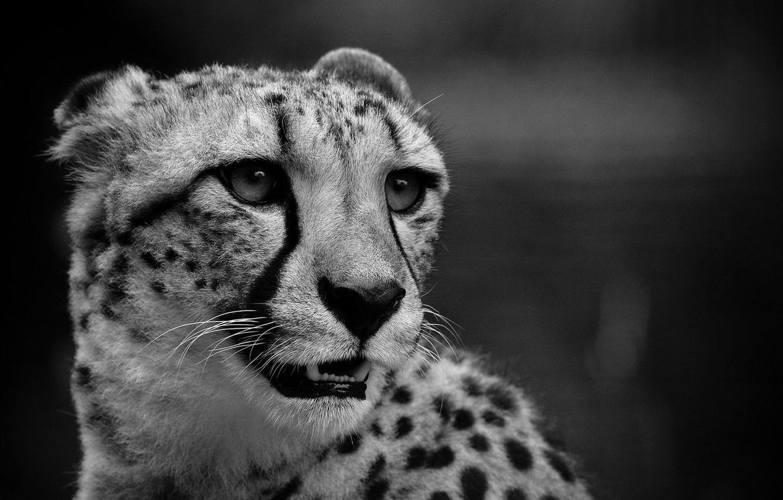 Photo wallpaper cat, black and white, Cheetah