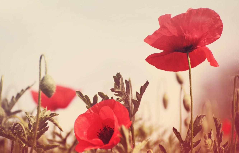Photo wallpaper greens, field, flowers, red, background, Wallpaper, Mac, wallpaper, flowers, widescreen, flowers, background, full screen, HD …