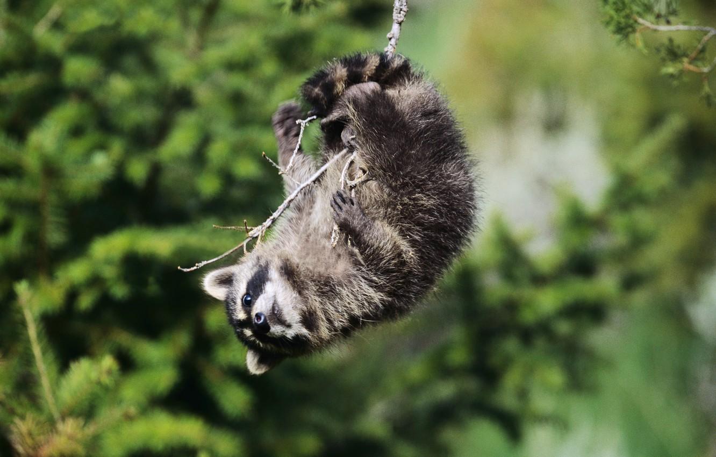 Photo wallpaper look, swing, branch, Raccoon, playfulness, mischief, the hangs