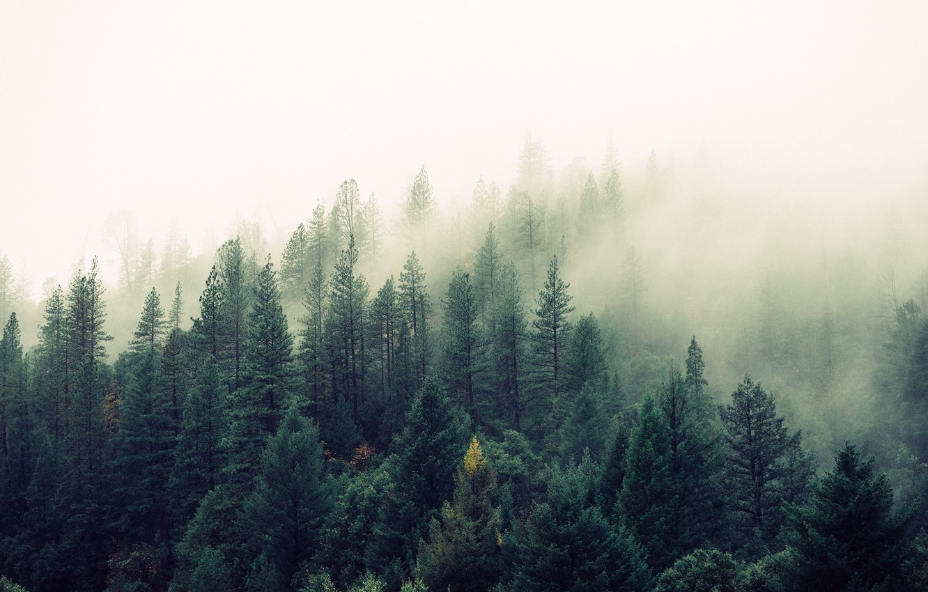 Photo wallpaper forest, fog, Nature, beauty, pine, tree