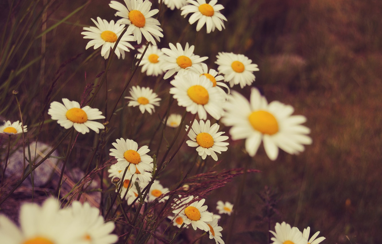 Photo wallpaper flowers, chamomile, petals, white
