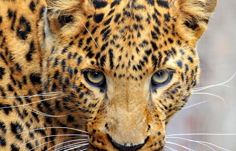 Photo wallpaper mustache, look, face, predator, leopard, color