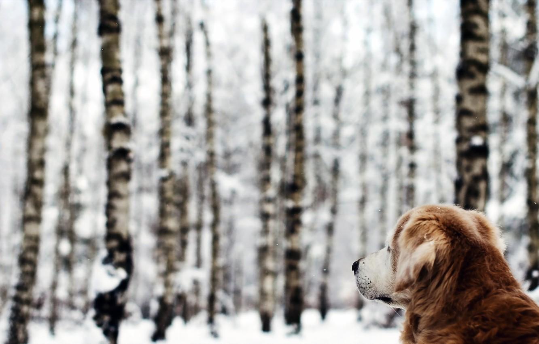 Photo wallpaper winter, forest, dog