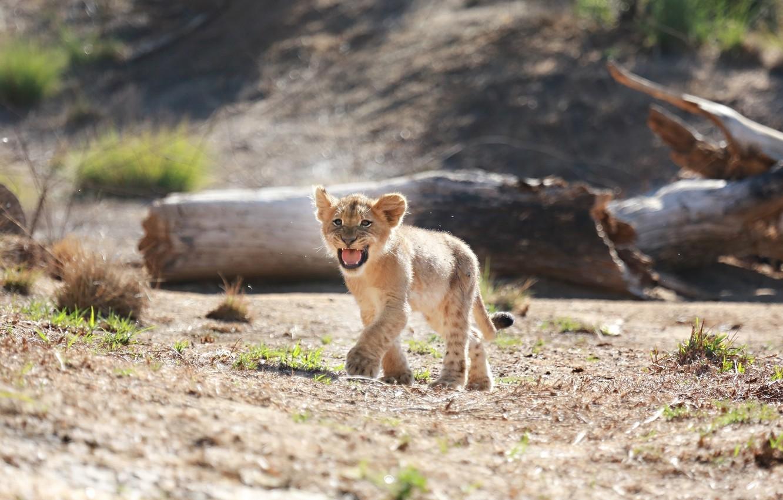 Photo wallpaper predator, small, baby, mouth, cub, wild cat, lion