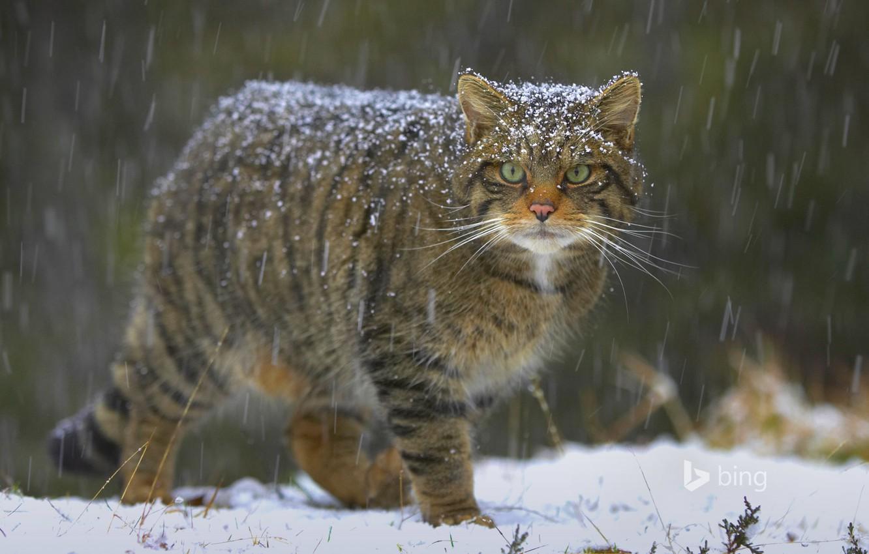 Photo wallpaper cat, snow, nature, Scotland, the European forest cat