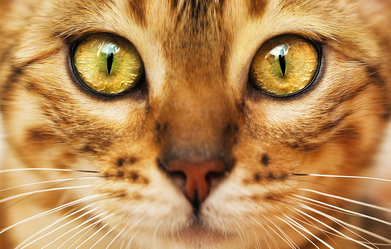 Photo wallpaper cat, look, muzzle, color, green eyes